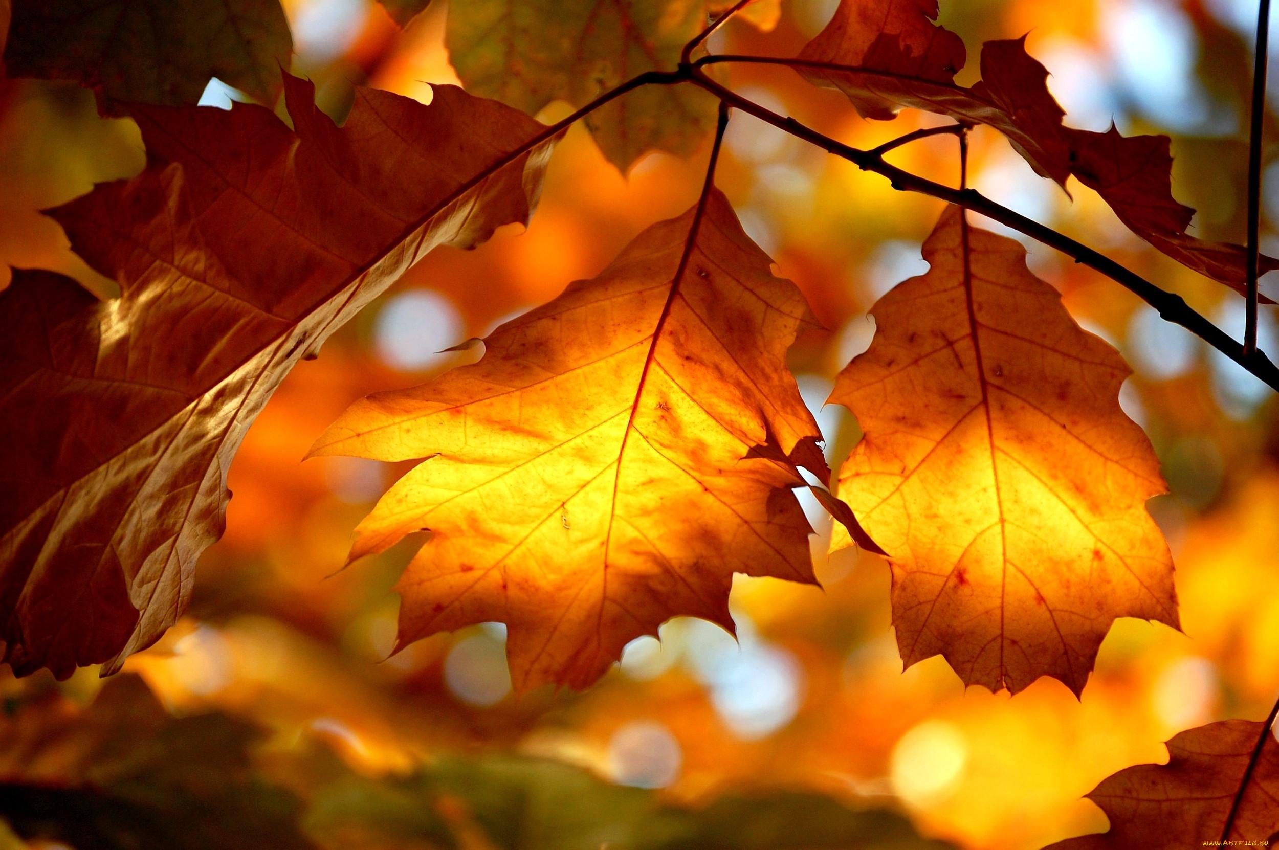 заключительная картинки осень листья большие медонос ценный